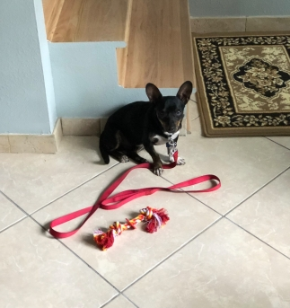 Photo of a Chiweenie sitting on a tile floor