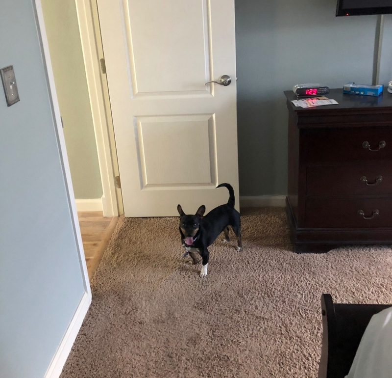 Photo of a Black and Tan Chiweenie exploring a bedroom