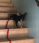 Photo of a Black and Tan Chiweenie navigating steps