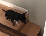 Photo of a Black and Tan Chiweenie at the top of a flight of steps