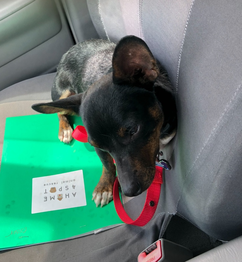 A photo of a Black and Tan Chiweenie - Chihuahua-Dachshund mix - sitting in the passenger seat of a car.