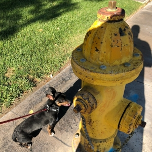 Photo of a Black and Tan Chiweenie and fire hydrant