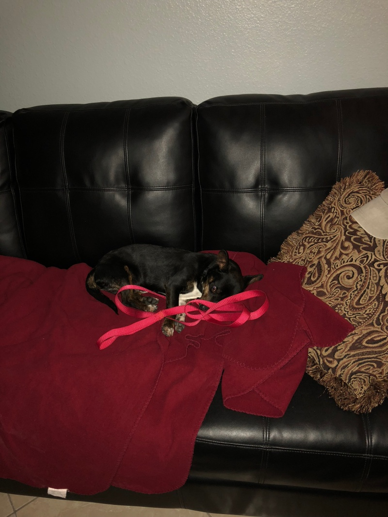 Black and Tan Chiweenie sleeping on the couch.