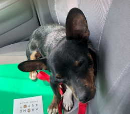 Photo of a Black and Tan Chiweenie sitting in a car seat