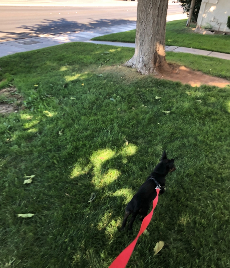 A photo of a Black and Tan Chiweenie dog walking in the grass.