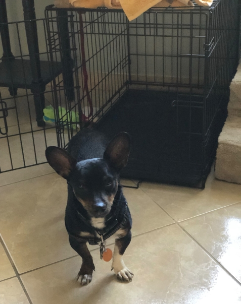 Photo of a Black and Tan Chiweenie dog and his new crate