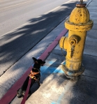 Photo of a Chiweenie dog gazing at a fire hydrant